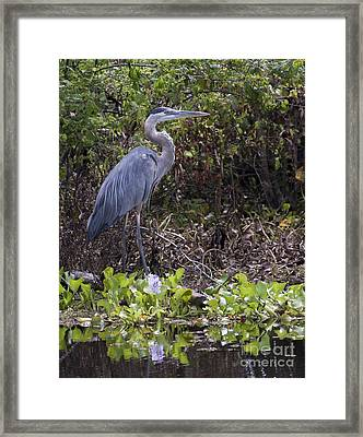 Atchafalaya Swamp Blue Heron Framed Print by D Wallace