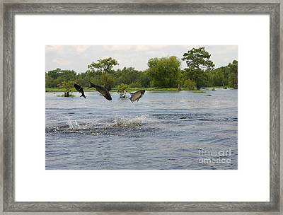 Atchafalaya Swamp Jumping Fish Framed Print