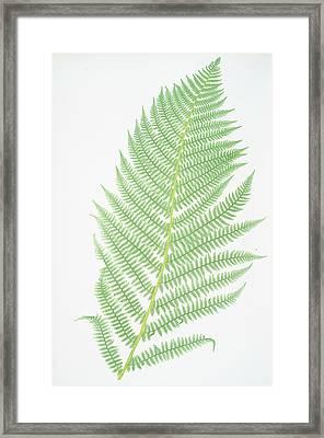 Athyrium Filix-foemina Framed Print