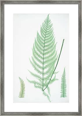 Athyrium Filix-foemina Ovatum Framed Print