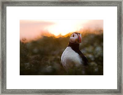 Atlantic Puffin At Sunrise Skomer Framed Print