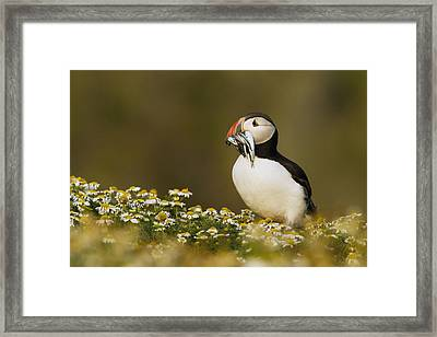 Atlantic Puffin Carrying Fish Skomer Framed Print by Sebastian Kennerknecht
