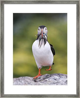Atlantic Puffin Carrying Greater Sand Framed Print by Franka Slothouber