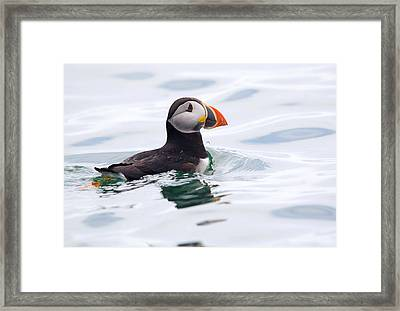 Atlantic Puffin. Framed Print