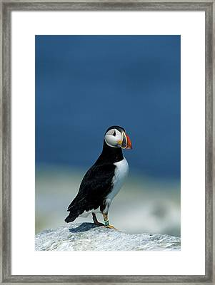 Atlantic Puffin (fratercula Arctica Framed Print by Richard and Susan Day