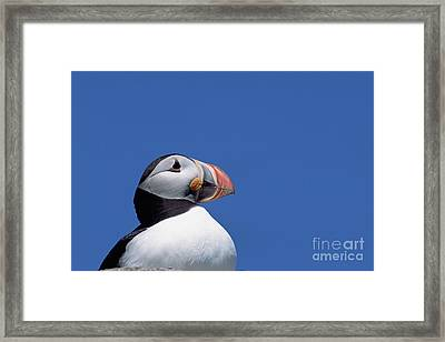 Atlantic Puffin In Breeding Colors Framed Print by