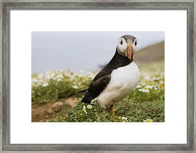 Atlantic Puffin In Breeding Plumage Framed Print by Sebastian Kennerknecht