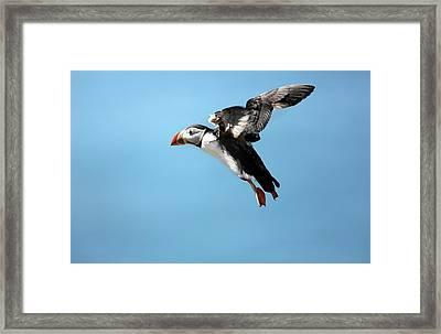 Atlantic Puffin In Flight Framed Print by Nicolas Reusens