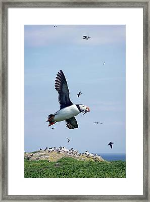 Atlantic Puffin In Flight Framed Print by Steve Allen/science Photo Library