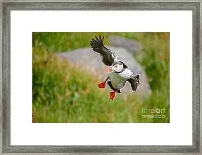 Atlantic Puffin, Incoming.... Framed Print