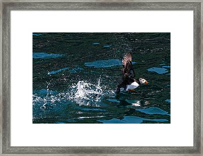 Atlantic Puffin Taking Off Framed Print