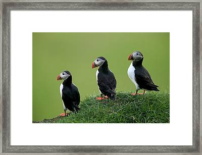 Atlantic Puffin Trio On Cliff Framed Print by Cyril Ruoso
