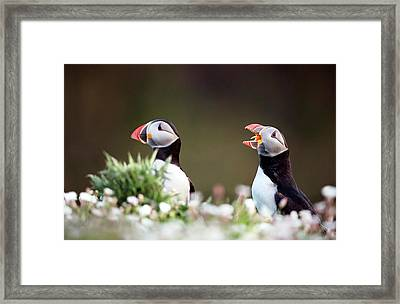 Atlantic Puffins Framed Print by Nicolas Reusens