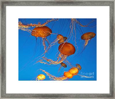 Atlantic Sea Nettle Jellyfish Framed Print by Tap On Photo
