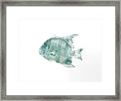 Atlantic Spadefish Framed Print