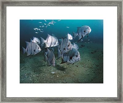 Atlantic Spadefish School Grays Reef Framed Print by Flip Nicklin