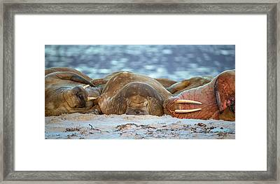 Atlantic Walruses Resting On Sandy Beach Framed Print by Peter J. Raymond