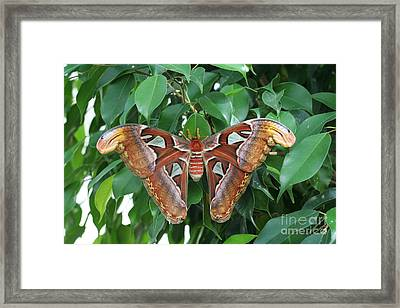 Framed Print featuring the photograph Atlas Moth #2 by Judy Whitton