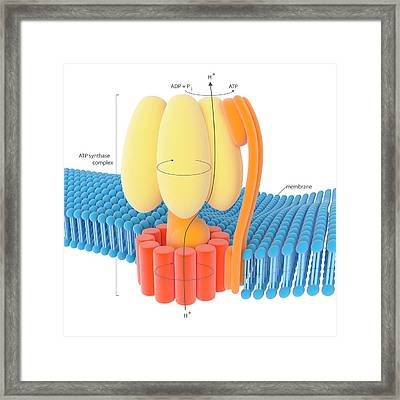 Atp Synthase Enzyme Complex Framed Print by Science Photo Library