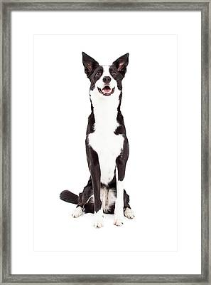 Attentive Border Collie Mix Breed Dog Sitting Framed Print by Susan Schmitz