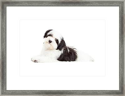 Attentive Havanese Dog Laying Framed Print by Susan Schmitz
