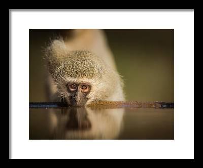 Vervet Monkey Framed Prints
