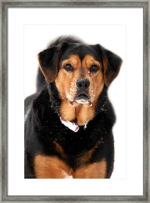 Attentive Labrador Dog Framed Print