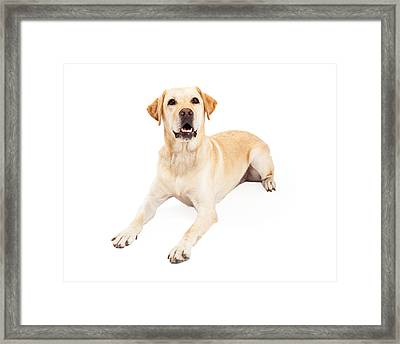 Attentive Labrador Retriever Dog Laying Framed Print