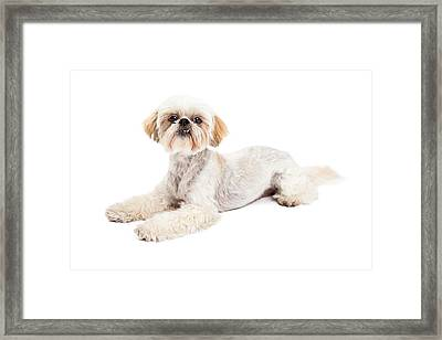 Attentive Maltese And Poodle Mix Dog Laying Framed Print