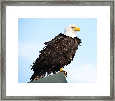 Attractive Bald Eagle Framed Print by Debra  Miller