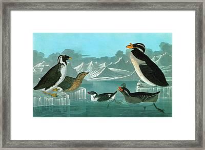 Audubon Auks Framed Print