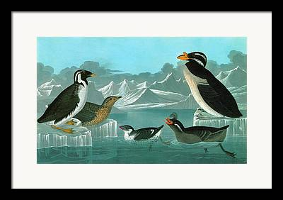 Auklets Paintings Framed Prints