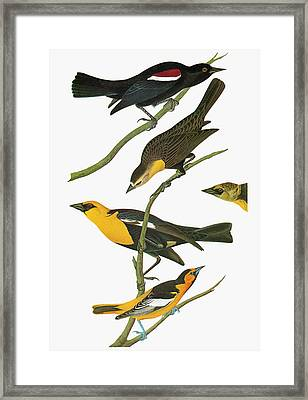 Audubon Blackbirds Framed Print by Granger