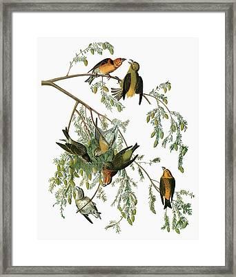 Audubon Crossbill Framed Print by Granger