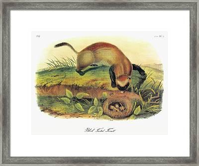 Audubon Ferret Framed Print by Granger