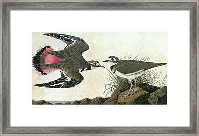 Audubon Killdeer Framed Print