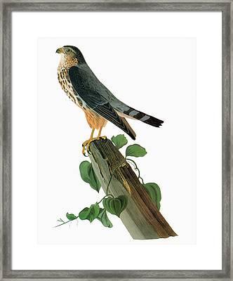 Audubon Merlin Framed Print