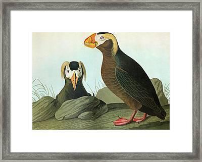Audubon Puffin Framed Print by Granger