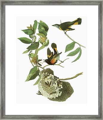 Audubon Redstart Framed Print by Granger