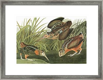 Audubon Woodcock Framed Print by Granger