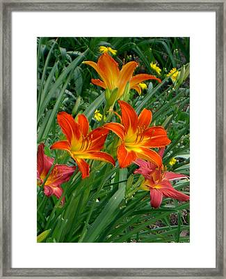 Lilies Galore Framed Print