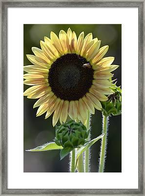 August Sunflower Framed Print