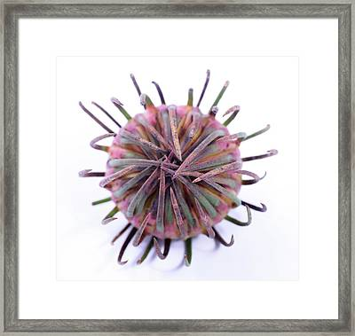 Aulax Cancellata Seed Head Framed Print by Cordelia Molloy