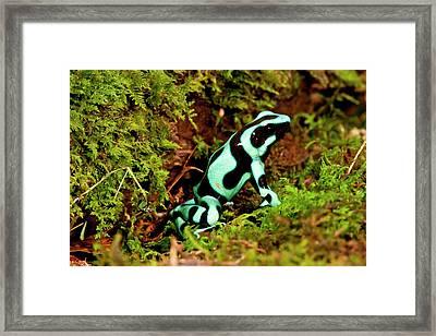 Auratus Dart Frog Dendrobates Auratus Framed Print by David Northcott
