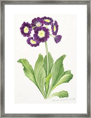 Auricula Framed Print by Sally Crosthwaite