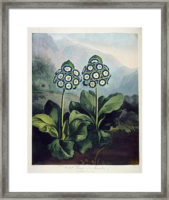Auriculas Framed Print by British Library