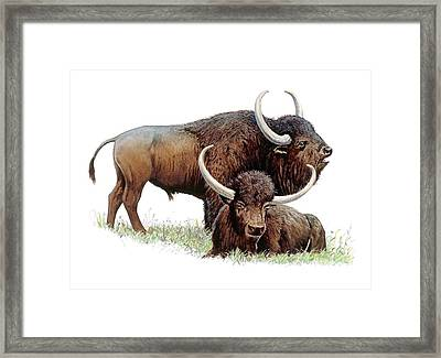 Aurochs Framed Print by Michael Long/science Photo Library