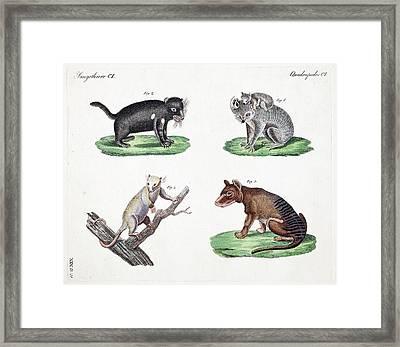 Australasian Marsupials Framed Print by Paul D Stewart