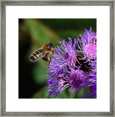 Australian Bee Arriving At Flower Framed Print