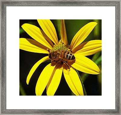 Australian Bee Snacktime Framed Print